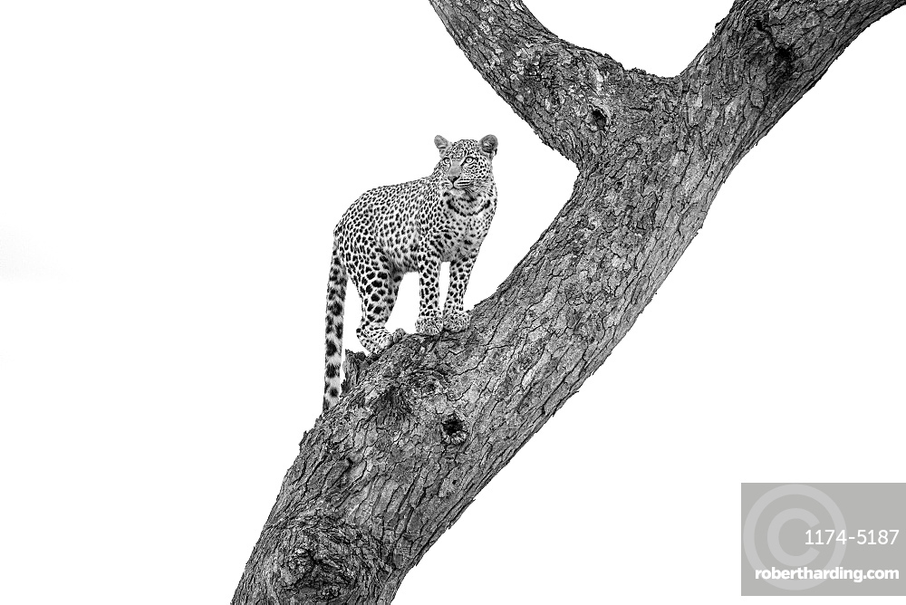 A leopard, Panthera pardus, stands in a tree, looking away, in black and white, Londolozi Game Reserve, Sabi Sands, Greater Kruger National Park, South Africa