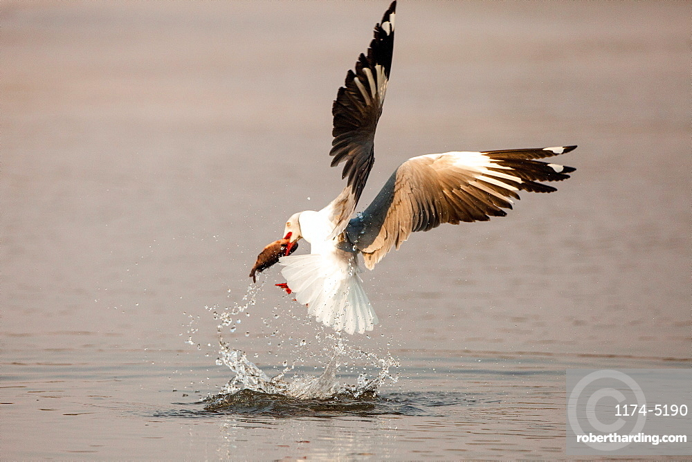 A grey-headed gull, Chroicocephalus cirrocephalus, in mid flight, catches fish, with fish between beak, above water with splashes, Londolozi Game Reserve, Sabi Sands, Greater Kruger National Park, South Africa