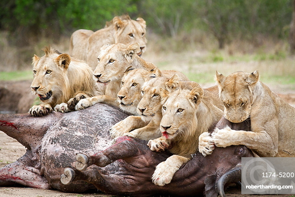 A pride of lions, Panthera leo, lie over a buffalo carcass, Syncerus caffer, looking away, biting muzzle of bloated buffalo, blood on mouth, Londolozi Game Reserve, Sabi Sands, Greater Kruger National Park, South Africa