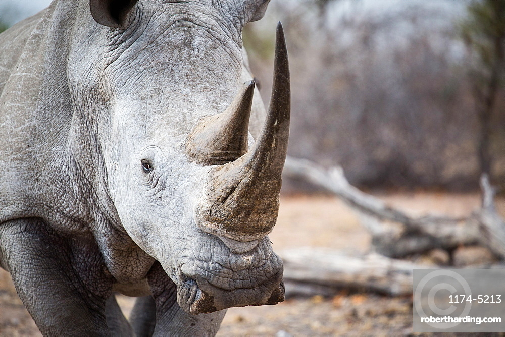 A rhino's head, Ceratotherium simum, alert, two sharp horns, Londolozi Game Reserve, Sabi Sands, Greater Kruger National Park, South Africa
