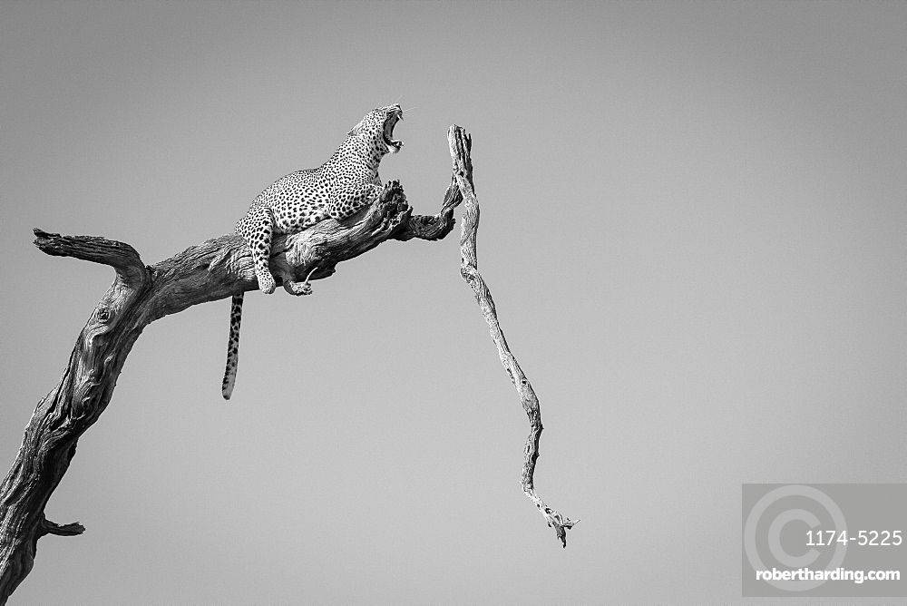 A leopard, Panthera pardus, lies on a dead tree branch, tail drapes down, yawning with ears back and eyes closed, in black and white, Londolozi Game Reserve, Sabi Sands, Greater Kruger National Park, South Africa