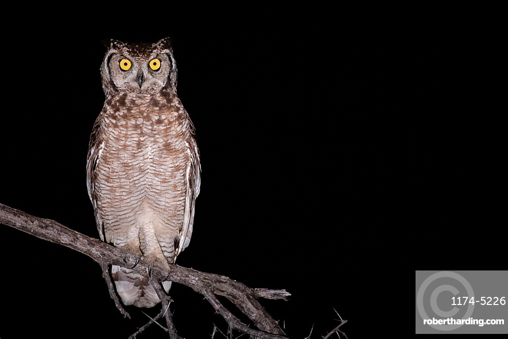 Spotted eagle owl, Bubo africanus, alert, perched on a branch at night, Londolozi Game Reserve, Sabi Sands, Greater Kruger National Park, South Africa