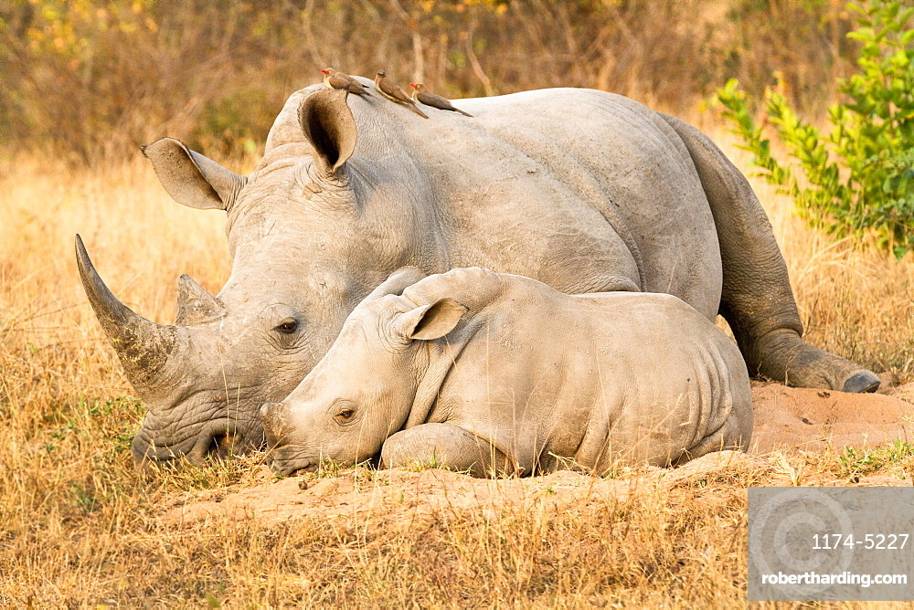 A rhino mother and calf, Ceratotherium simum, lie side by side, red-billed oxpeckers, Buphagus erythrorhynchus, perch on the rhino, Londolozi Game Reserve, Sabi Sands, Greater Kruger National Park, South Africa