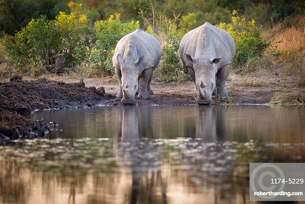 Two rhinos, Ceratotherium simum, drink from a waterhole, looking away, reflections in water, Londolozi Game Reserve, Sabi Sands, Greater Kruger National Park, South Africa