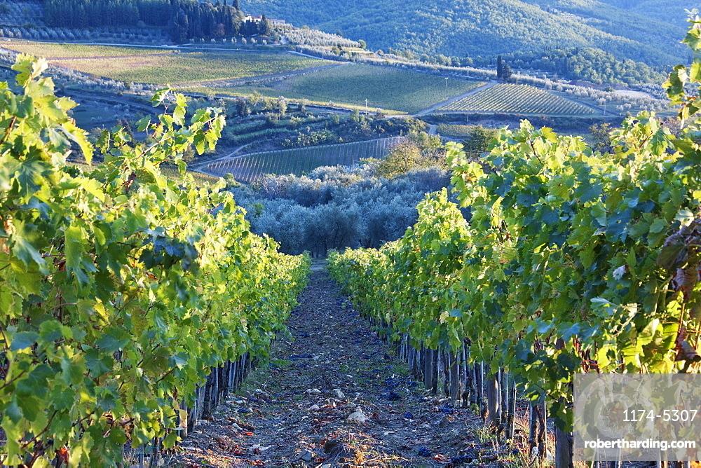 Vineyards, Panzano, Tuscany, Italy