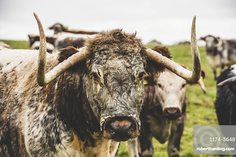 English Longhorn cow standing on a pasture, looking at camera, Oxfordshire, England