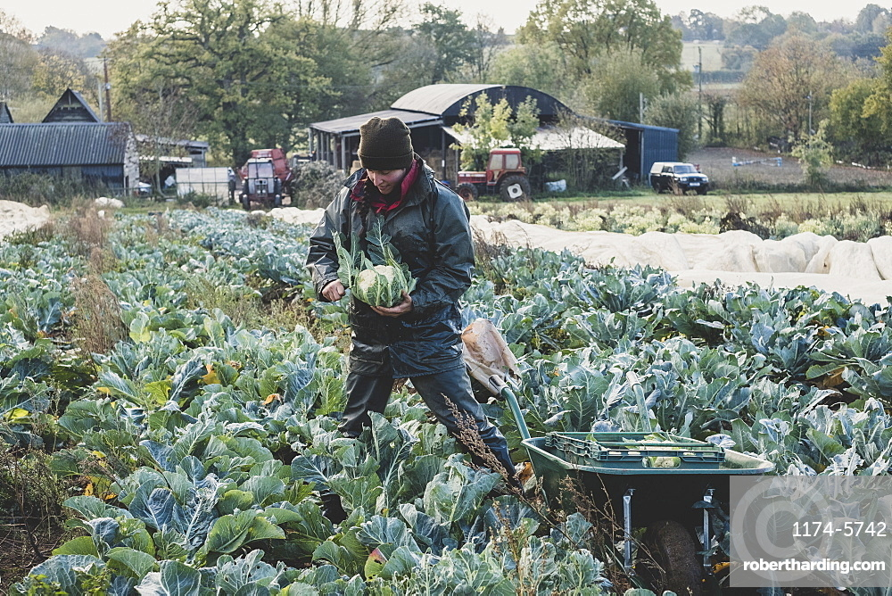 Woman standing in field, harvesting cauliflowers, Oxfordshire, England