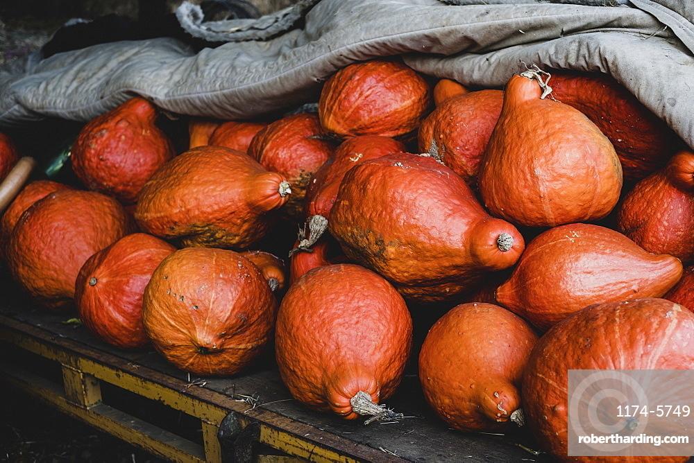 High angle close up of freshly harvested orange Hubbard pumpkins, Oxfordshire, England