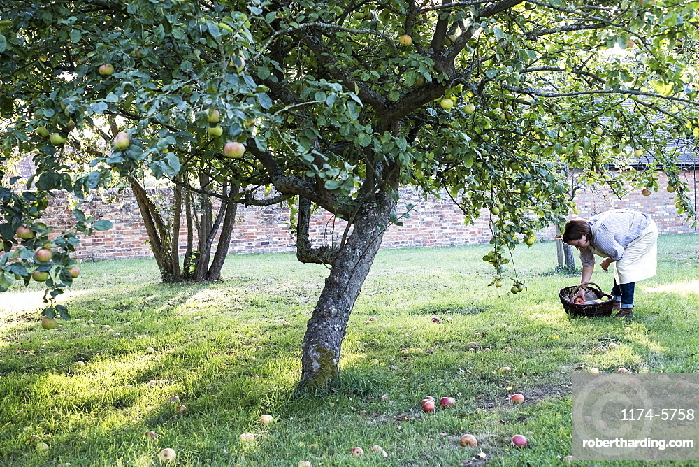 Woman wearing apron holding brown wicker basket, picking up windfall apples from the ground, Oxfordshire, England