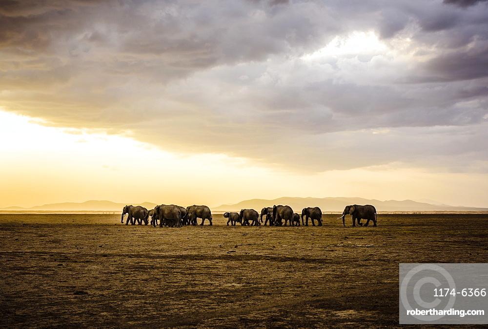 Herd of elephants in savanna landscape, Kenya, Africa