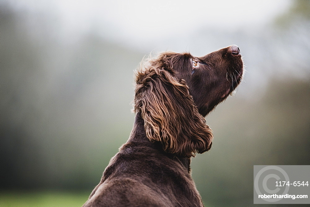 Rear view of Brown Spaniel dog sitting in a field, looking sideways, Oxfordshire, England