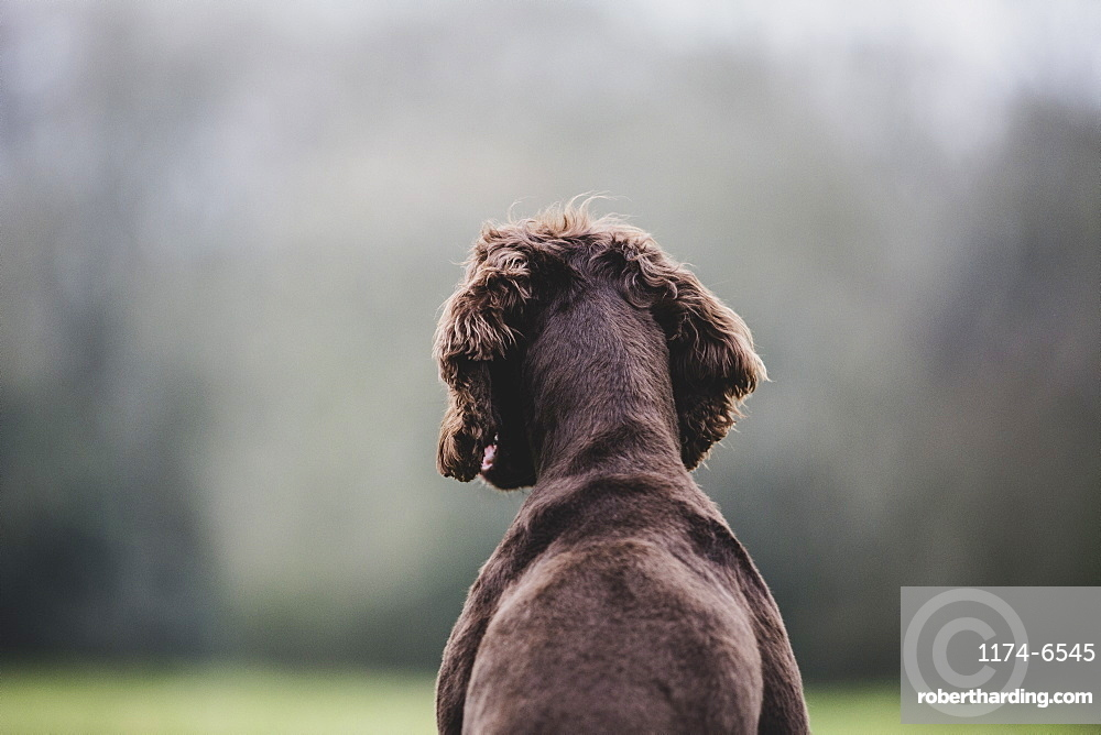Rear view of Brown Spaniel dog sitting in a field, Oxfordshire, England