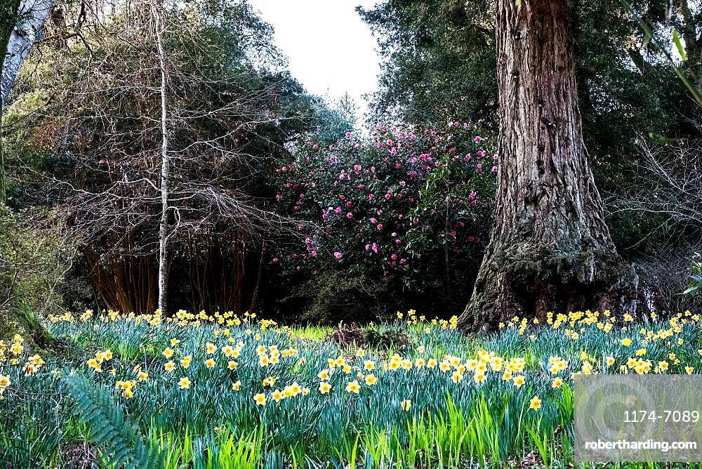 Forest with meadow of daffodils, pink Rhododendron and trees
