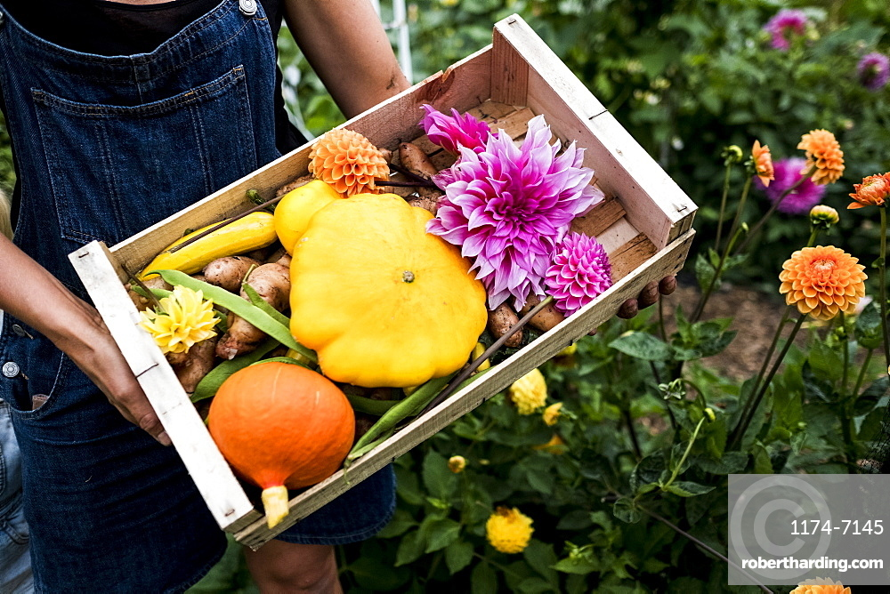 High angle close up of person holding wooden box with fresh vegetables and cut pink Dahlias