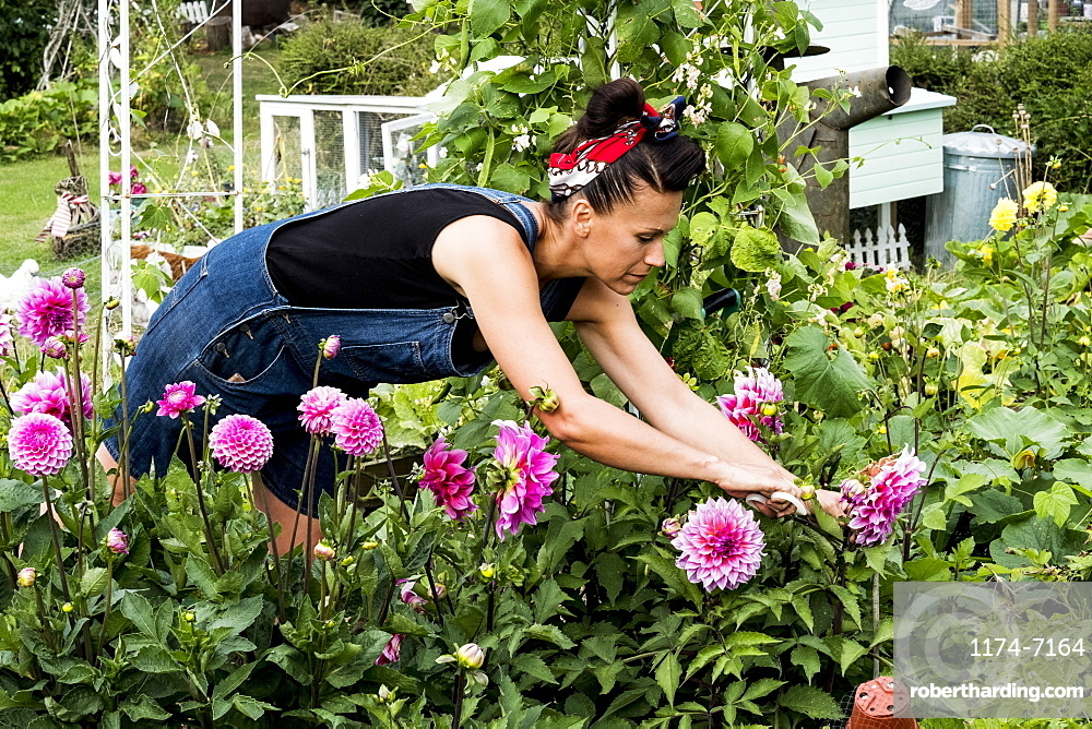 Woman standing in a garden, picking pink Dahlias