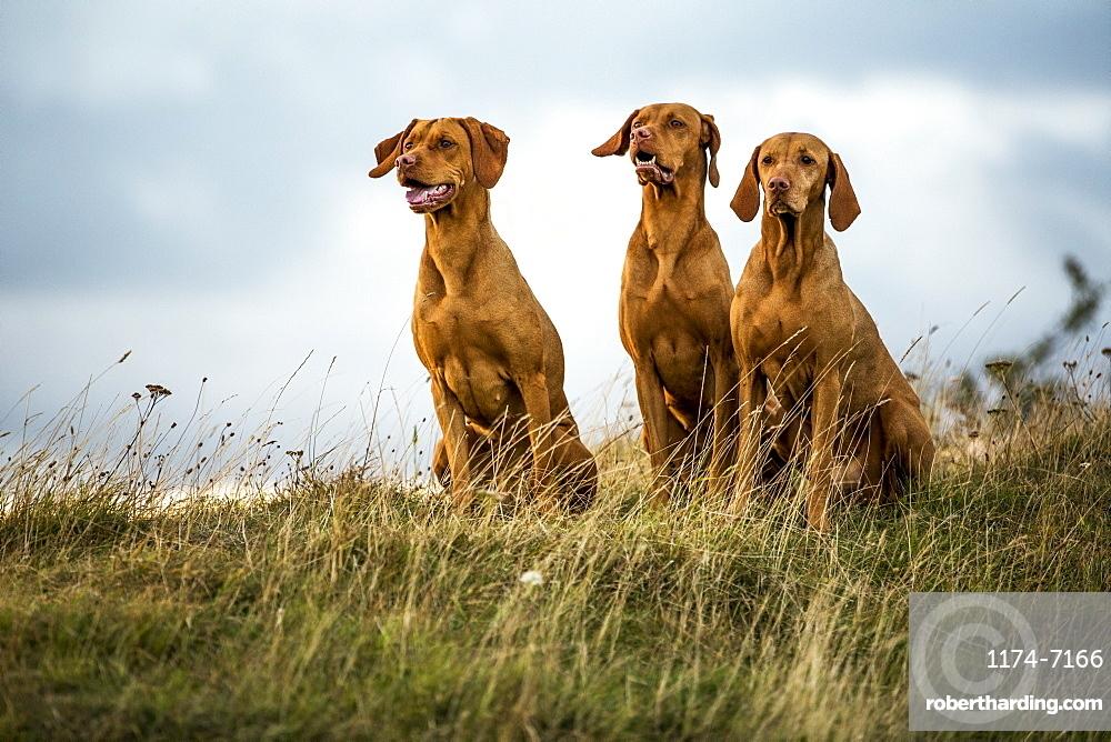 Portrait of three Vizla dogs sitting on a meadow