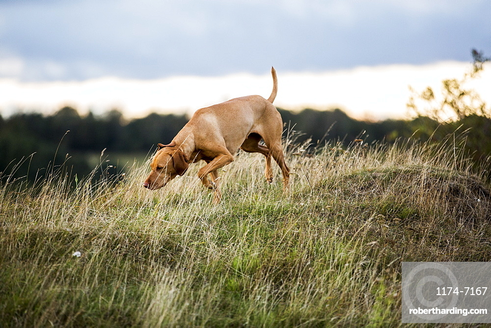 Vizla dog walking on a meadow, sniffing ground