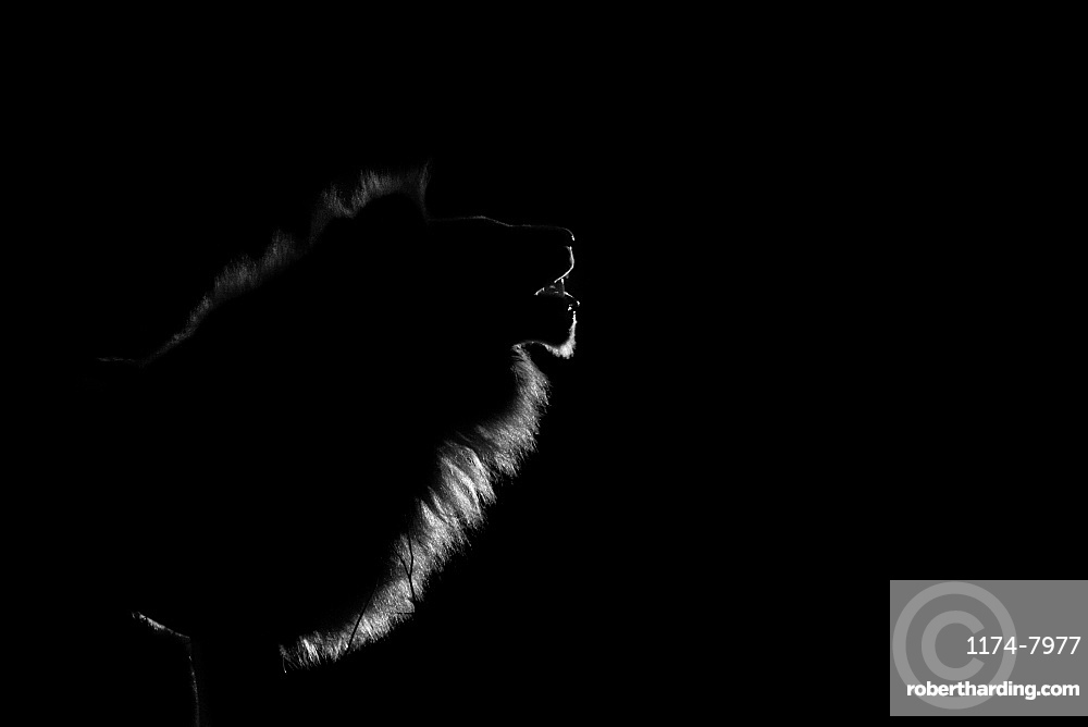 The side profile of a male lion, Panthera leo, lit up by spotlight at night, mouth open , Londolozi Game Reserve, Greater Kruger National Park, South Africa