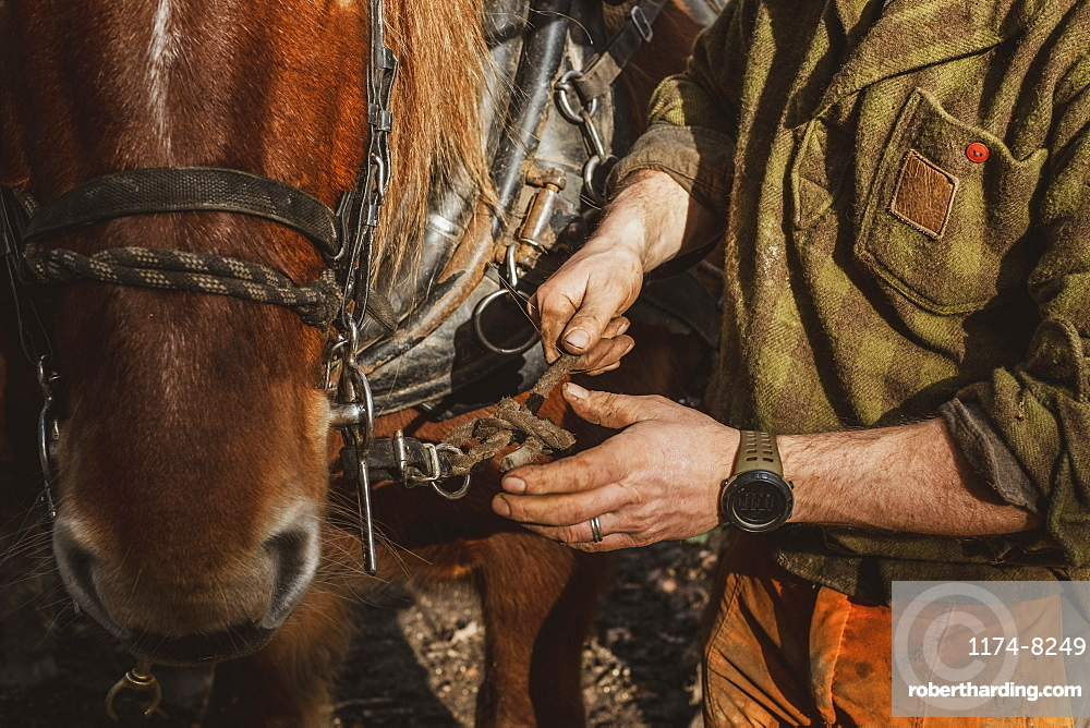 Close up of logger fastening the harness on one of his work horses, Devon, United Kingdom