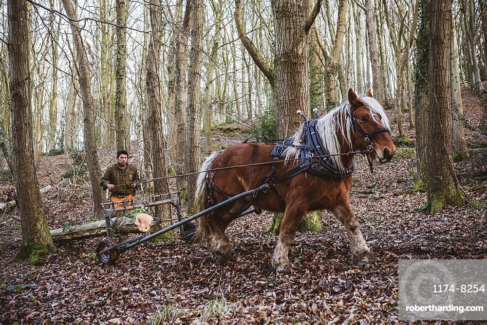 Logger driving work horse pulling a log forest, Devon, United Kingdom