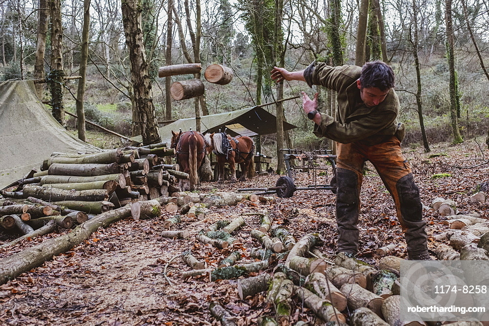 Logger working in a camp in a forest, throwing logs of wood onto heap, Devon, United Kingdom