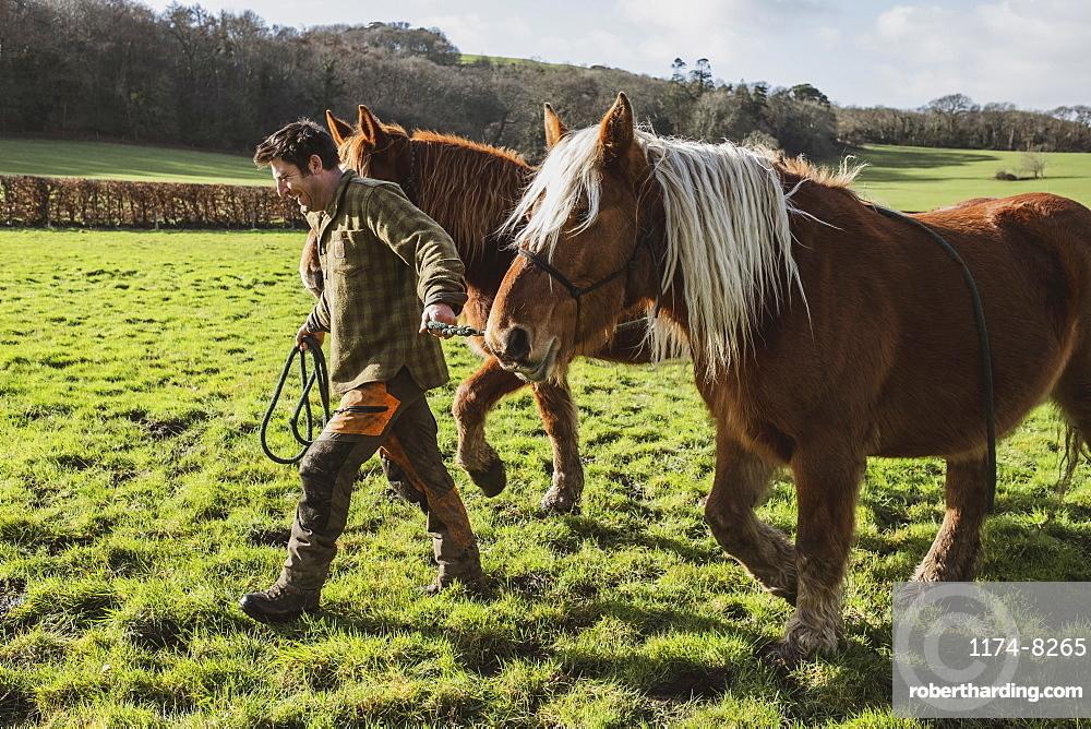 Man leading two brown work horses across a meadow, Devon, United Kingdom