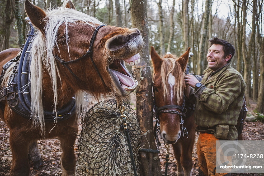 Logger standing in a forest camp with two of his work horses, laughing while one horse is neighing, Devon, United Kingdom