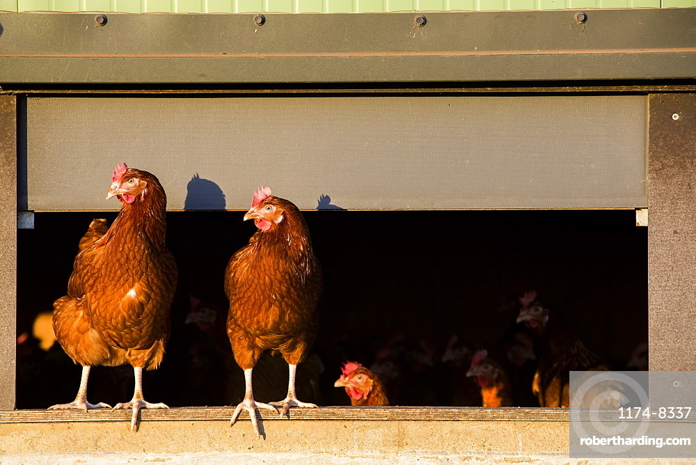 Free range chickens coming out of a hen house
