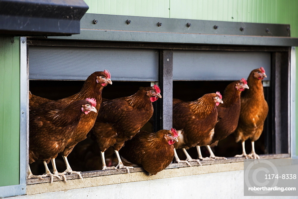 Free range chickens emerging from a hen house