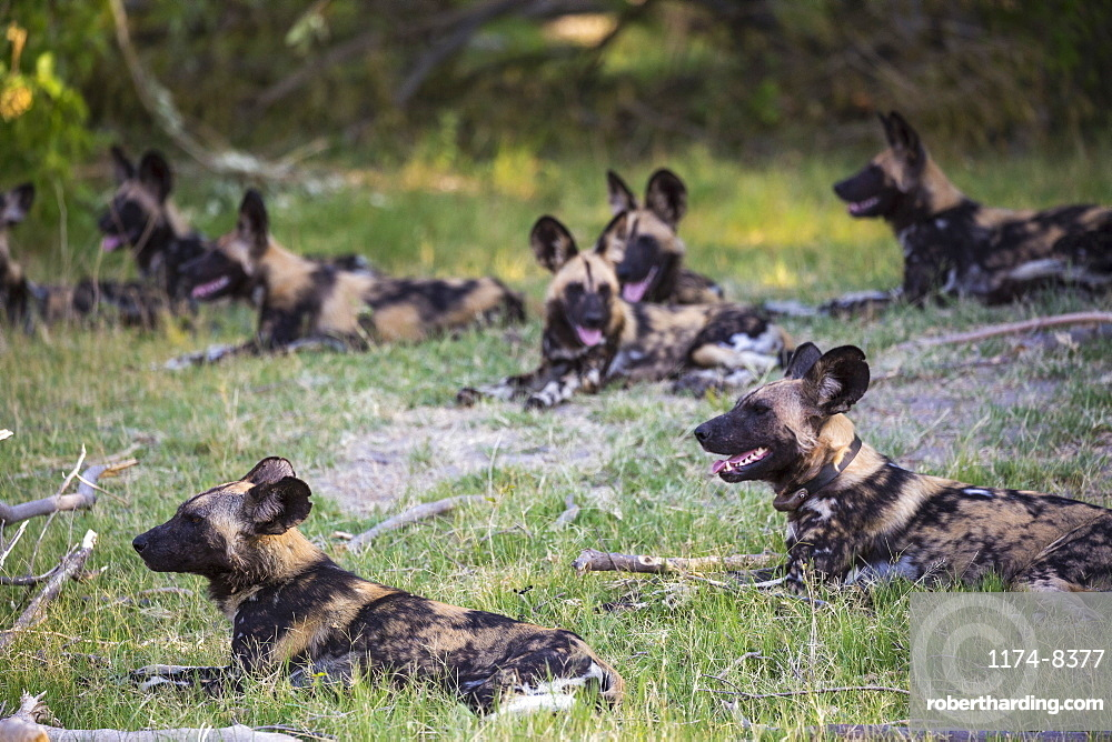 A pack of wild dogs, Lycaon pictus, Moremi Game Reserve, Botswana