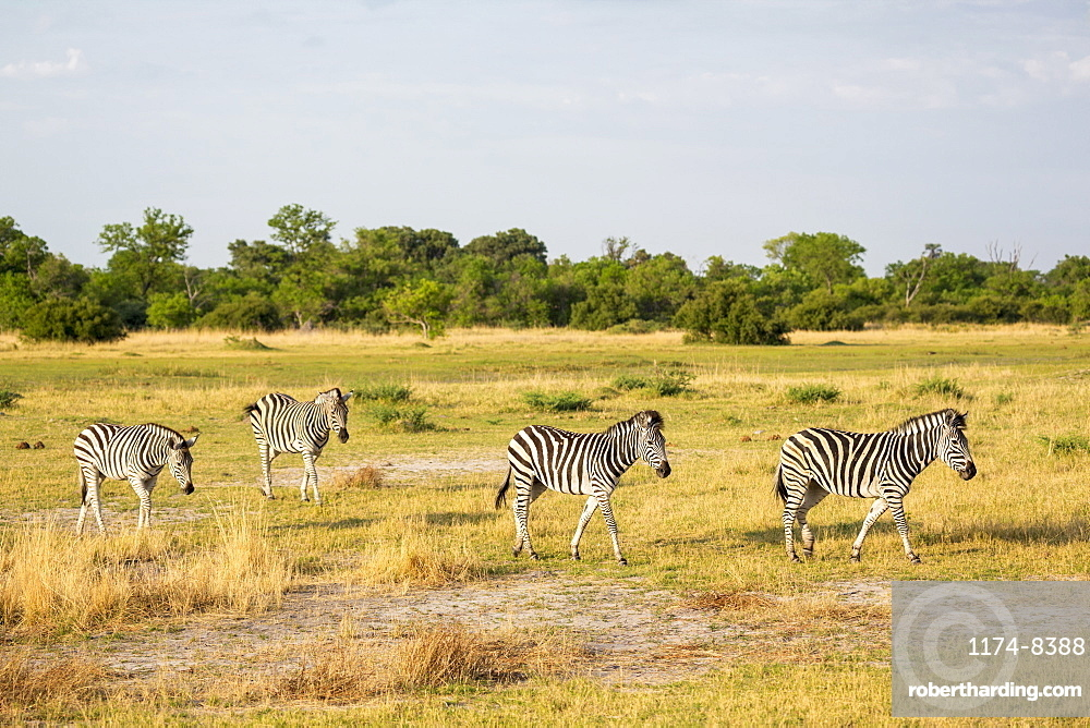Four Burchell's Zebra on dry grassland, Moremi Game Reserve, Botswana
