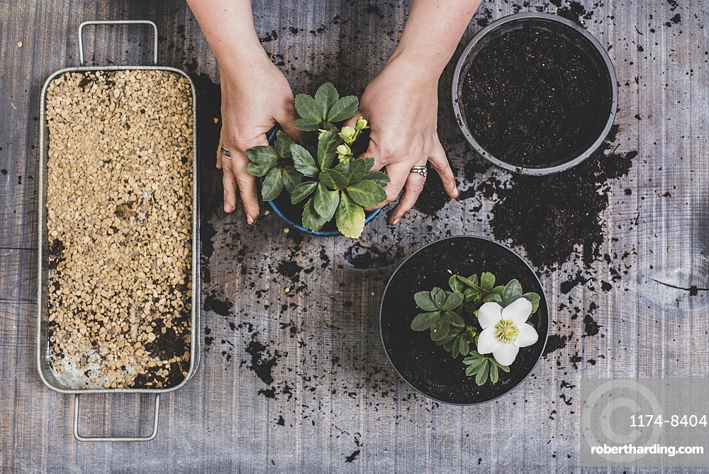 Person potting up small white Christmas rose hellebore plants