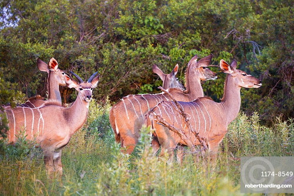 kudu at sunset, Botswana