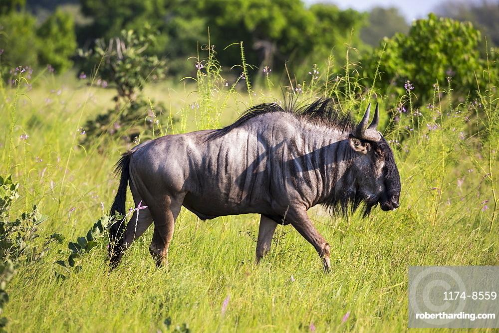 A wildebeest in long grass