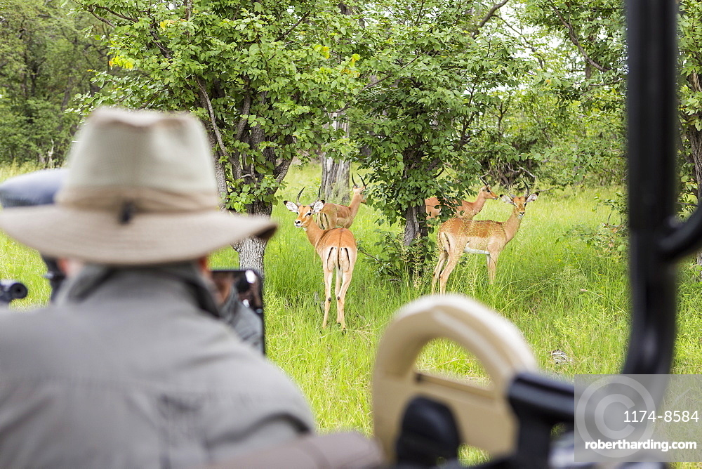 A safari guide looking at impala from safari vehicle, Botswana