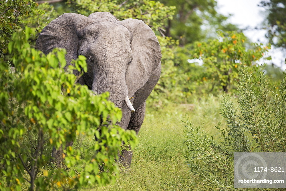 An African elephant with tusks, Loxodonta africana, among trees in the bush, Botswana