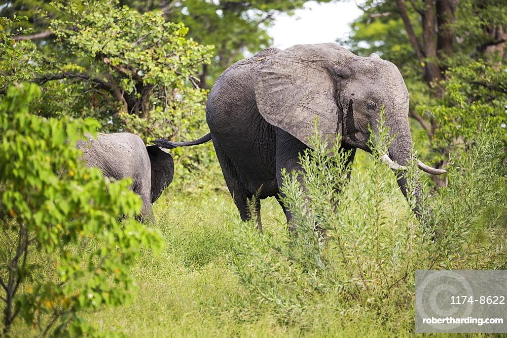 Two African elephant, Loxodonta africana, among trees in the bush, Botswana