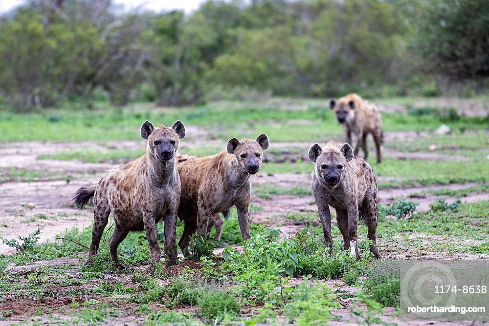 A clan of hyenas, Crocuta crocuta, stand together, direct gaze, ears forward, greenery background, Sabi Sands, Greater Kruger National Park, South Africa