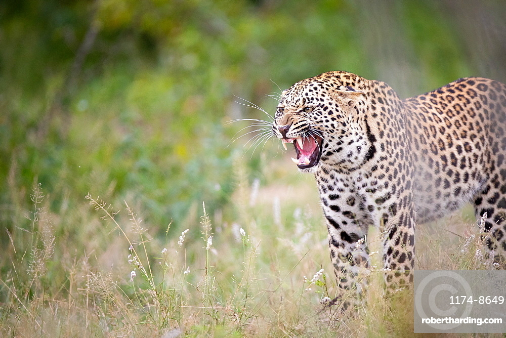 A leopard, Panthera pardus, stands in short grass and snarls, looking out of frame, teeth visible, Sabi Sands, Greater Kruger National Park, South Africa