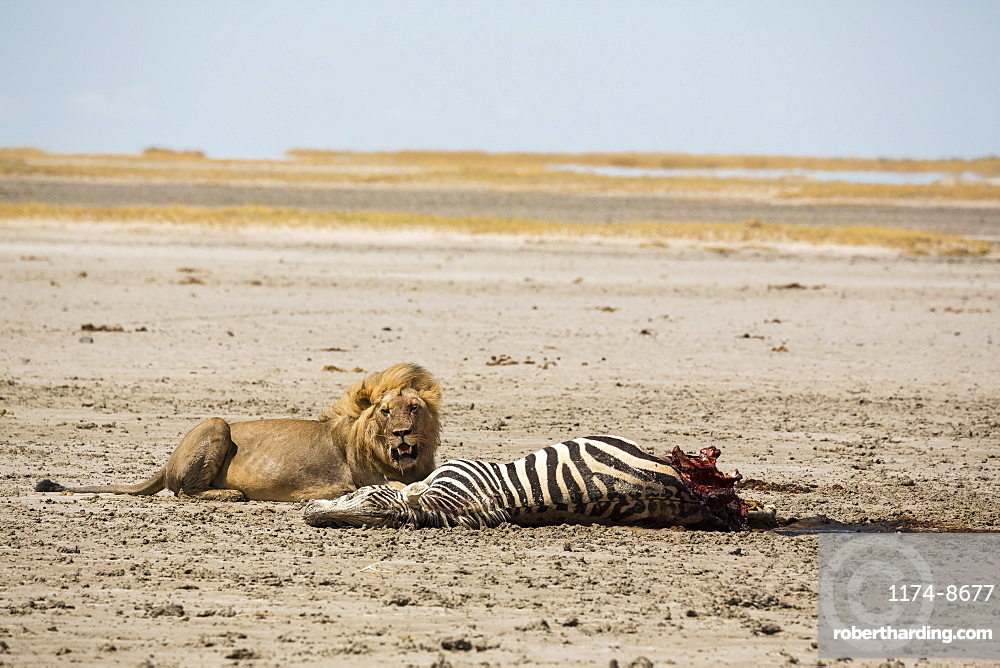 An adult male lion and a kill, a dead Burchell's Zebra, Kalahari Desert, Botswana