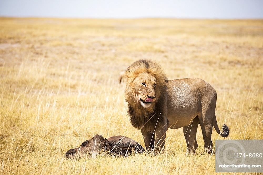 Male lion and dead wildebeest, Kalahari Desert, Botswana