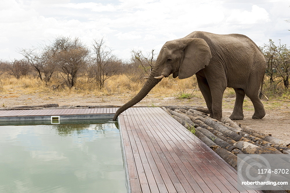 An elephant drinking with its trunk from a wildlife reserve camp swimming pool, Okavango Delta, Botswana