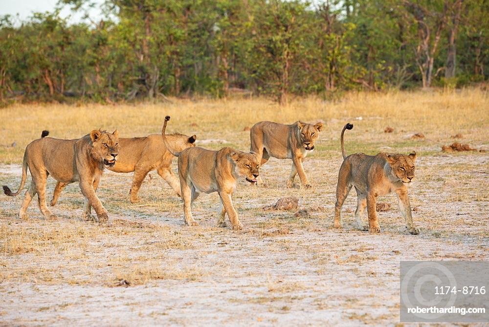 A pride of female lions walking across open space at sunset, Okavango Delta, Botswana