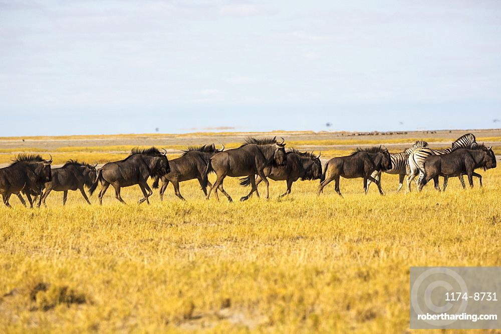 A herd of wildebeests in the Kalahari Desert