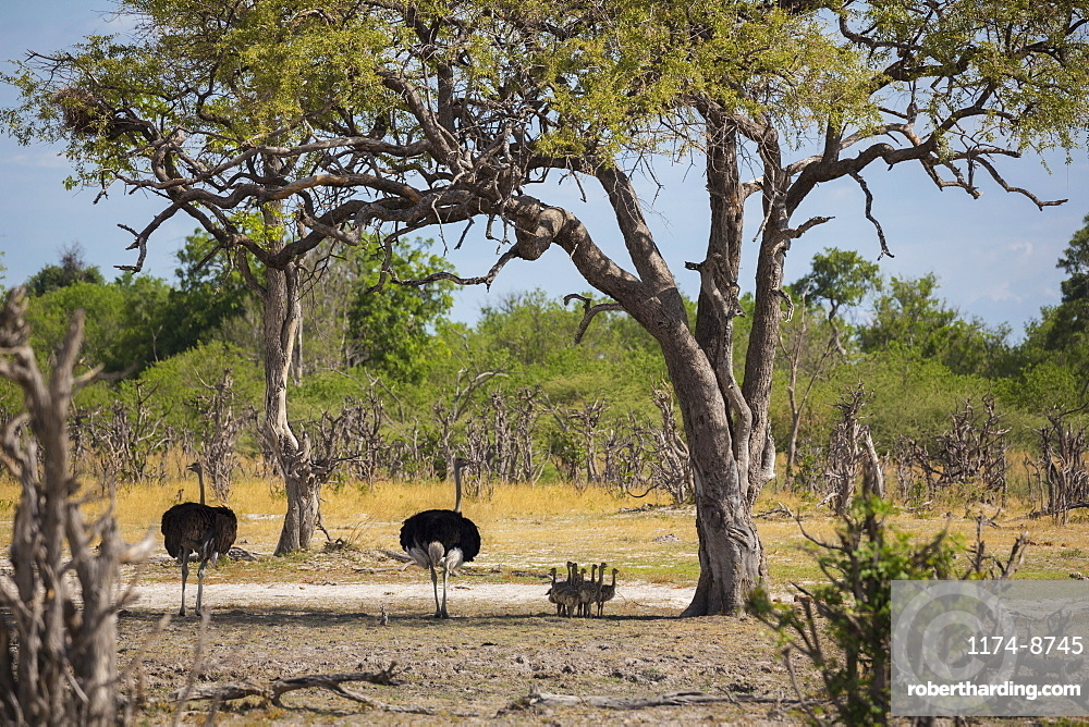 A pair of ostriches with a clutch of young chicks ostriches in the shade of a tree
