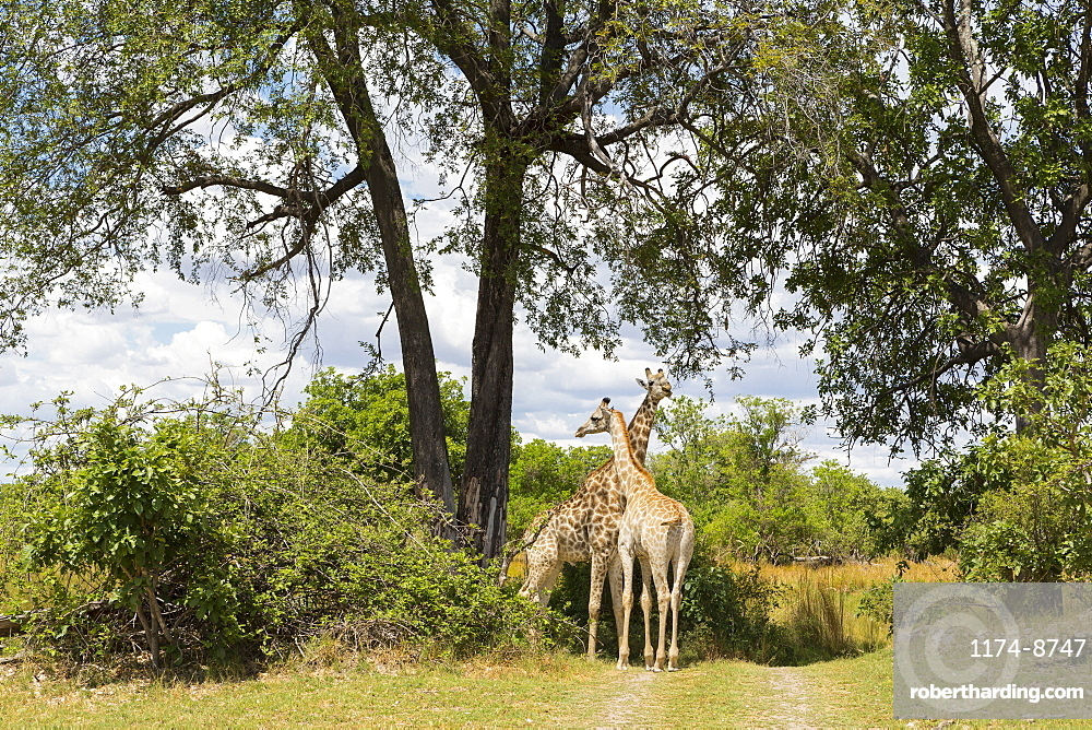 A pair of giraffe under trees, Moremi Game Reserve, Botswana