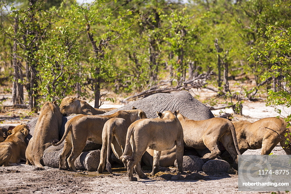 A group of female lions feeding on a dead elephant, Moremi Game Reserve, Botswana