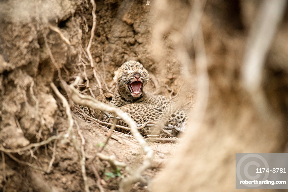 Newly born leopard cubs, Panthera pardus, lie together between roots and mud walls, one cub opens it mouth with closed eyes, Sabi Sands, Greater Kruger National Park, South Africa