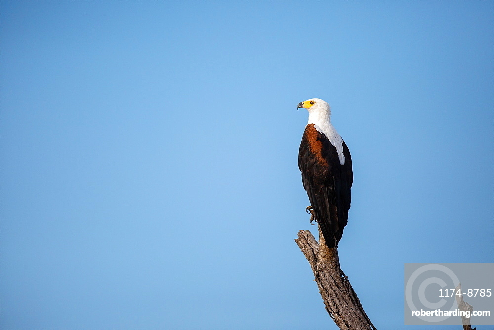 A fish eagle, Haliaeetus vocifer, perches on a dead branch, looking out of frame, blue sky background, Sabi Sands, Greater Kruger National Park, South Africa