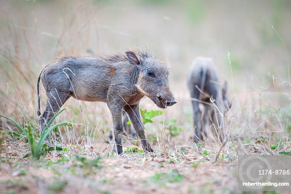 A warthog piglet, Phacochoerus africanus, stands in short grass, ears back, Sabi Sands, Greater Kruger National Park, South Africa